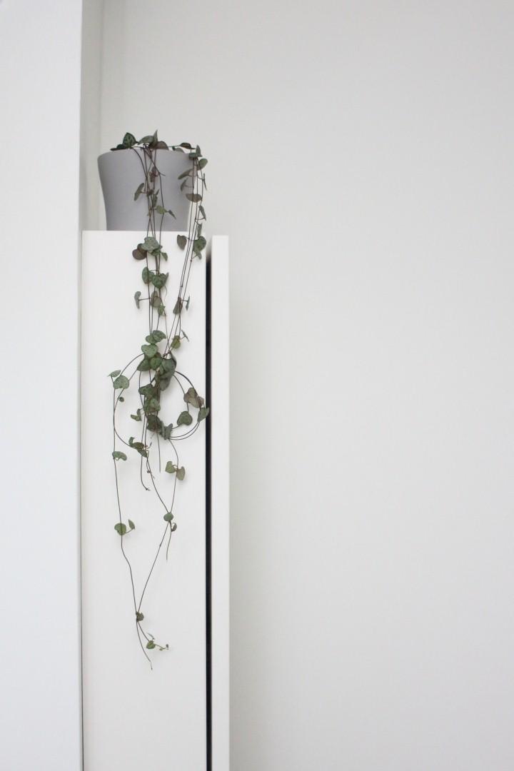 Leuchterblume Ceropegia - design and BLOOM