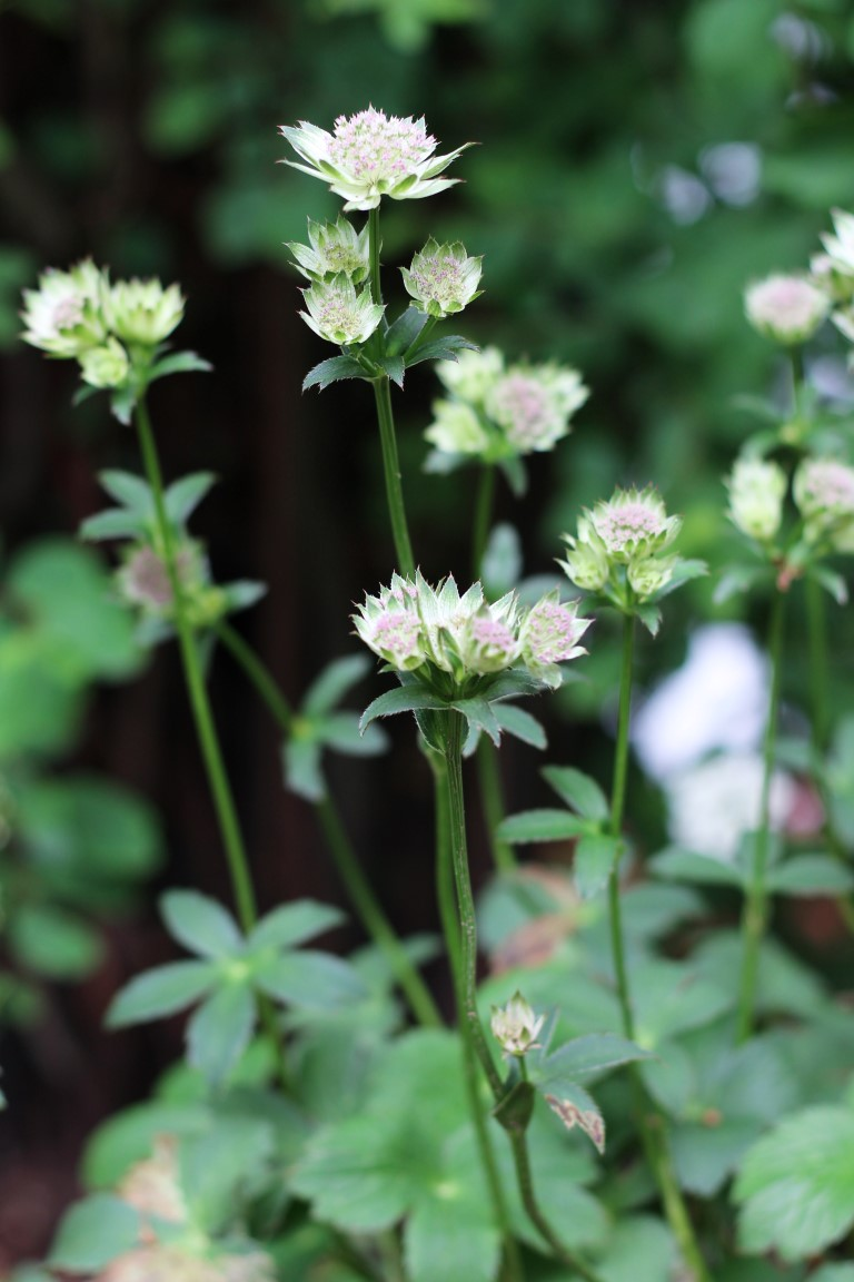 Lieblingspflanze - Große Sterndolde Astrantia major - design and BLOOM